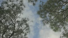 Slash pine crowns blue cloudy sky Stock Footage