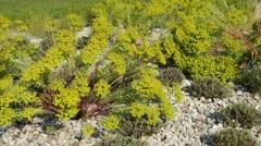 Spurge (Euphorbia) and common lavender (Lavandula angustifolia) Stock Footage