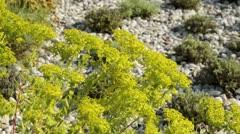 Spurge (Euphorbia) Stock Footage