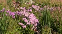 Garden phlox (Phlox paniculata) - stock footage
