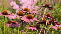 Purple cone flower (Echinacea purpurea 'Rubinstern') Stock Footage
