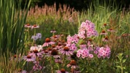Stock Video Footage of Purple cone flower (Echinacea purpurea 'Rubinstern') and garden phlox (Phlox