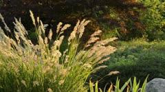 Feather grass (Stipa calamagrostis syn. Achnatherum calamagrostis) Stock Footage