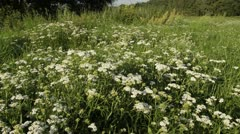 Common yarrow (Achillea millefolium) - stock footage