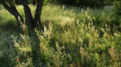 Sour dock (Rumex acetosa) Stock Footage