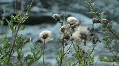 Canada thistle (Cirsium arvense) Stock Footage