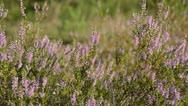 Heather (Calluna vulgaris) Stock Footage