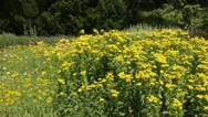 Stock Video Footage of Sneezeweed (Helenium)