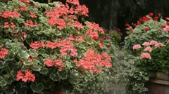 Pelargoniums (Pelargonium) in flower tubs Stock Footage