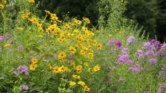 False sunflower (Heliopsis helianthoides) and garden phlox (Phlox paniculata) Stock Footage