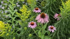 Purple cone flower (Echinacea purpurea), goldenrod (Solidago) and aster (Aster) Stock Footage