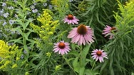 Stock Video Footage of Purple cone flower (Echinacea purpurea), goldenrod (Solidago) and aster (Aster)