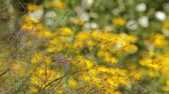 Switch grass (Panicum virgatum 'Warrior') Stock Footage