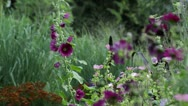 Stock Video Footage of Hollyhock (Alcea rosea)