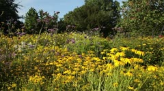 Stock Video Footage of Cone flower (Rudbeckia fulgida) and Brazilian verbena (Verbena bonariensis)