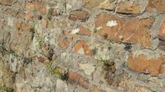 Wild carrot (Daucus carota) Stock Footage