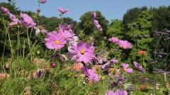 Garden cosmos (Cosmos bipinnatus) Stock Footage