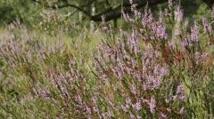 Stock Video Footage of Heather (Calluna vulgaris)