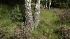 Heather (Calluna vulgaris) and birches (Betula), De Meinweg National Park, Stock Footage