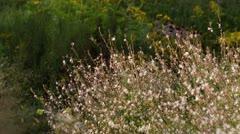 Butterfly gaura (Gaura lindheimeri) - stock footage