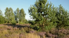 Scots pine (Pinus sylvestris), heather (Calluna vulgaris) and birches (Betula), Stock Footage