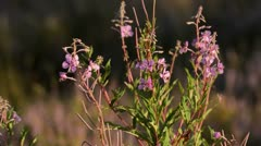 Rosebay willow herb (Epilobium angustifolium) and bee (Apis) Stock Footage