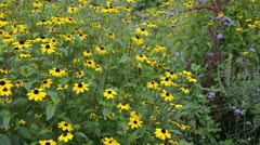 Stock Video Footage of Cone flower (Rudbeckia triloba)