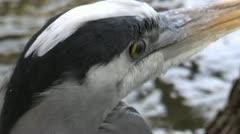 Blue Heron Bird Close Up Stock Footage