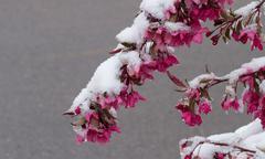 Stock Photo of Crabapple Tree in the Snow