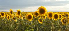 Sunflower Panorama Stock Photos