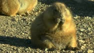 Stock Video Footage of Prairie Dog Eats