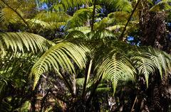 Stock Photo of large fronds of a fern tree