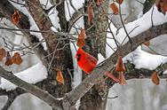 Male cardinal in winter tree Stock Photos