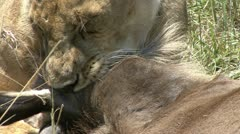 LION SUFFOCATION OF A WILDEBEEST Stock Footage