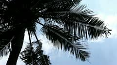 One palm tree Stock Footage