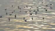Sea Gull. Stock Footage