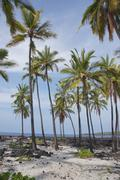 coconut palm trees .. - stock photo