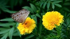 Butterflies - stock footage
