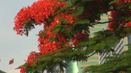 Stock Video Footage of Flame trees blossom in business district,  Shenzhen, China