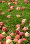 Fallen apples in green grass Stock Photos