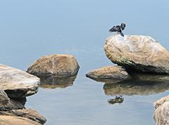 african darter on a stone in waterside ambiance - stock photo