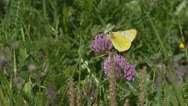 Common Clouded Yellow butterfly feeding on red clover. Stock Footage