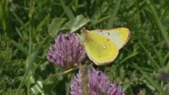 Common Clouded Yellow butterfly feeding on red clover - close up. Stock Footage