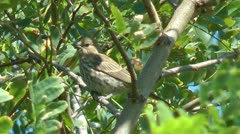 Sparrow songbird chirps from perch in tree Stock Footage
