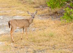 Pieni avain peuroja metsässä Florida Keys Kuvituskuvat