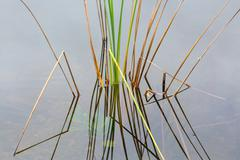 empty bed of reeds in everglades florida - stock photo