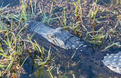 Close up of alligator in everglades Stock Photos