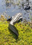 close up of alligator in everglades - stock photo