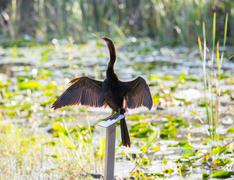 anhinga bird drying its feathers in everglades - stock photo