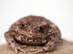 Brown toad Stock Photos